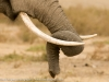 Kenya, Amboseli National Park, a close up shot of an elephants tusks and trunk ©David Rogers
