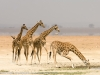 Kenya, Amboseli National Park, a group of four giraffe and one giraffe is drinking water. ©David Rogers