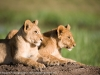 Kenya, Masai Mara National Park, two young lion cubs lying on a mound of sand in the wild. ©David Rogers
