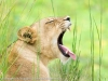 South Luangwa, Zambia, emerald season, lioness amongst long grass © David Rogers