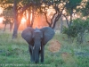 Zambia, South Luangwa, a young elephant standing in the wild © David Rogers