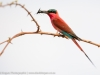Zambia, South Luangwa National Park, carmine bee-eater with insects
