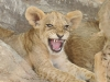 Zambia, South Luangwa National Park. lion cub