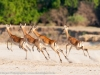 Zambia, South Luangwa National Park, leaping impala