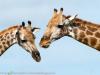 Botswana, Okavango Delta, giraffe © David Rogers