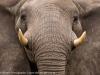 Botswana, Okavango Delta, elephant © David Rogers