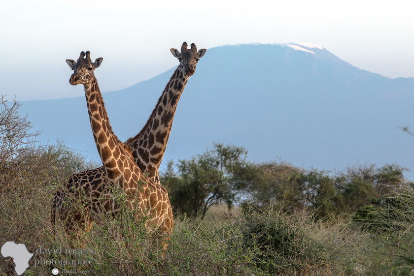 Giraffes in front of Mount Kilimanjaro
