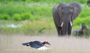 Elephant and ground hornbill