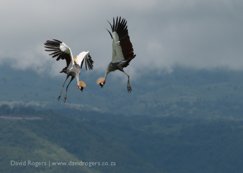 Crowned cranes dance above the plains of Ngorongoro Crater