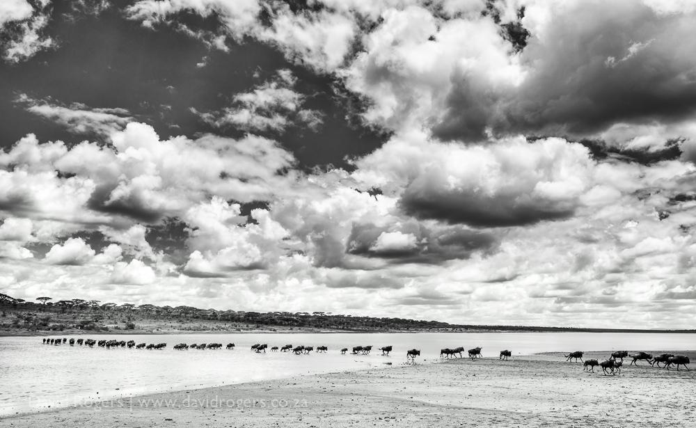 Wildeest migration crossing Lake Ndutu