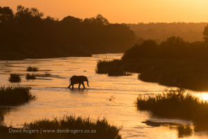 An elephant crosses near Exeter - what a view
