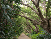 The Camphor Avenue Kirstenbosch