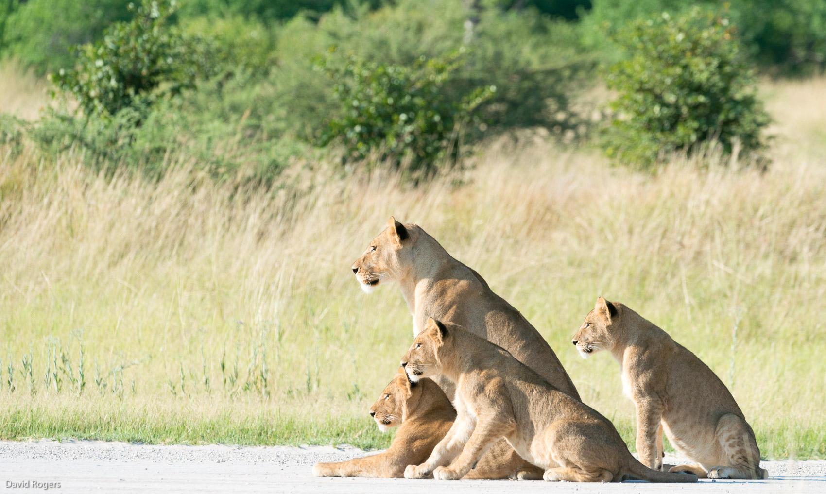 Machaba lions on the strip