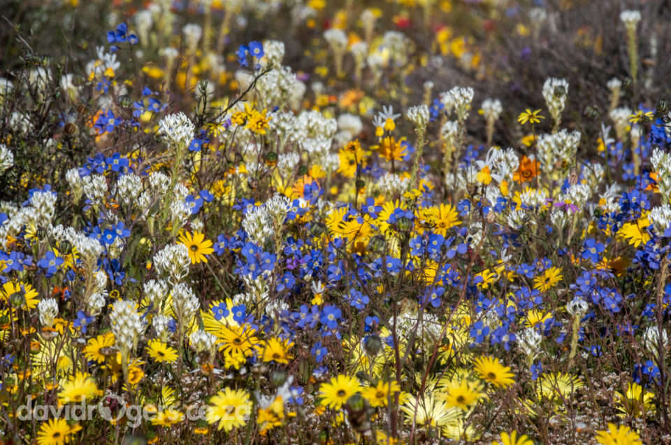 The best place to find spring flowers in the Cape 2018