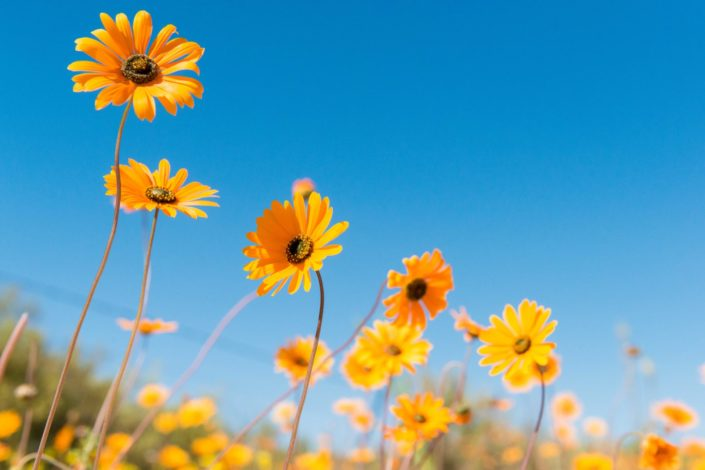 flowers of Namaqualand