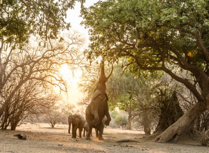 elephants of mana