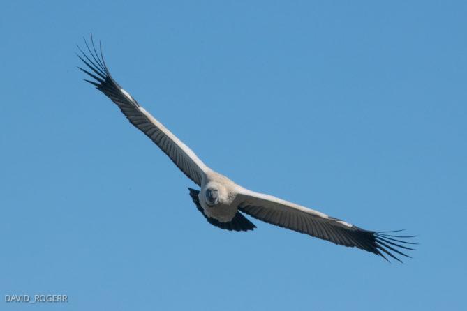 Cape Vultures in De Hoop